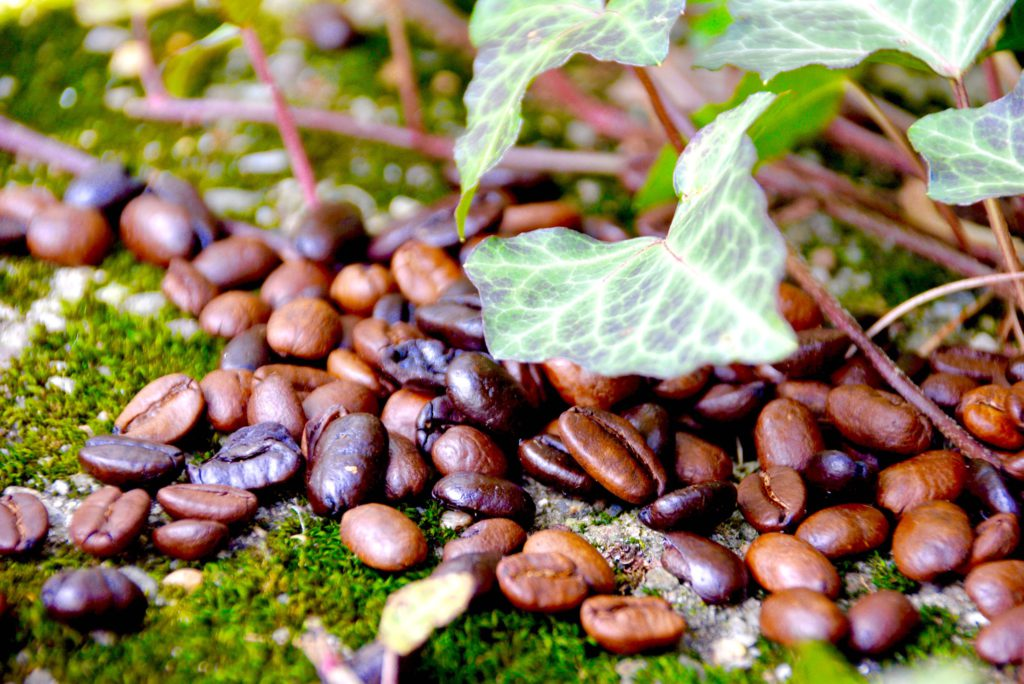 coffee beans in garden